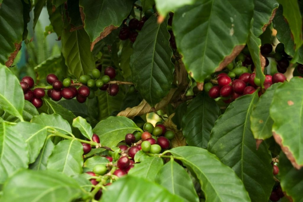 Coffee Cherries on a tree