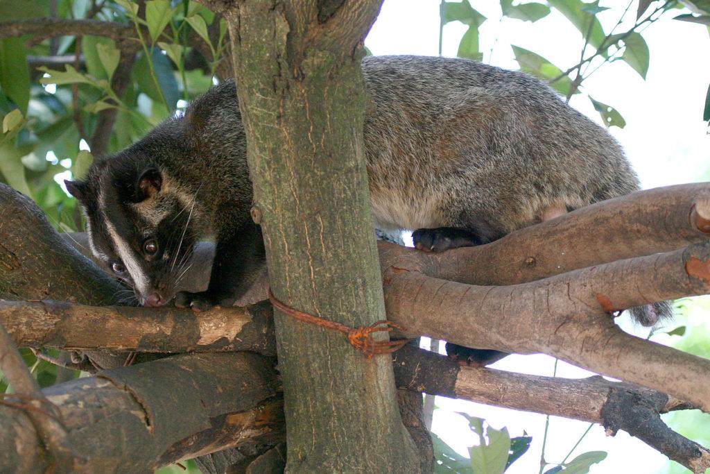 A Civet Cat, which produces Cat Beans