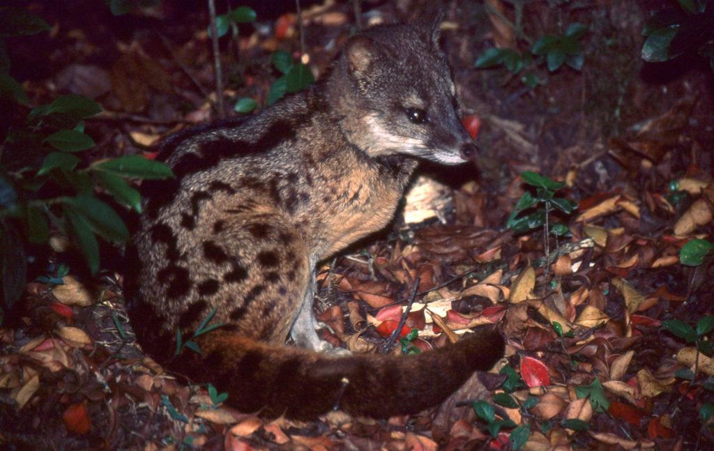 Wild Civet Cat