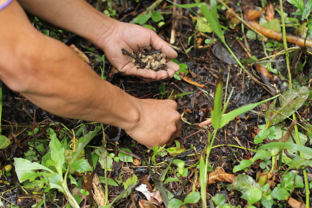 Collecting Wild Cat Beans