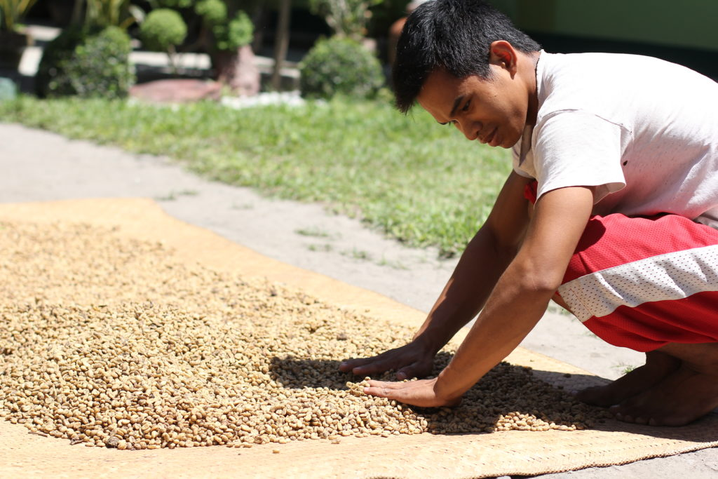 Drying Kopi Luwak Poop Coffee