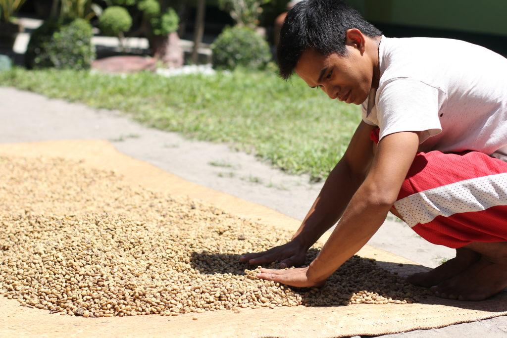 Drying Kopi Luwak Poop Coffee