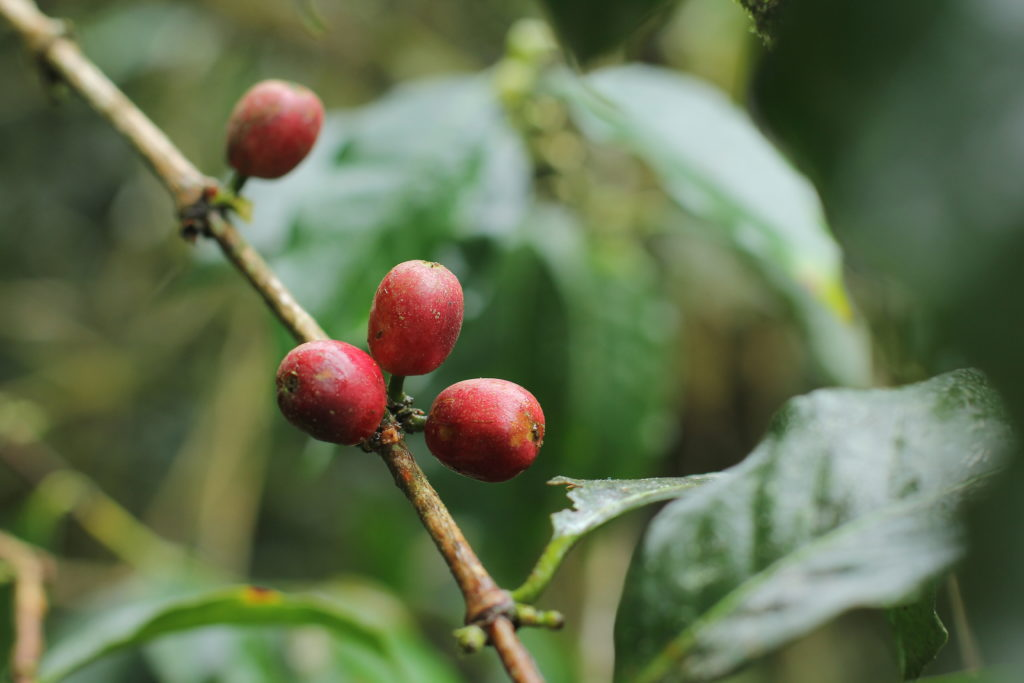 Ripe Civet Coffee Cherries